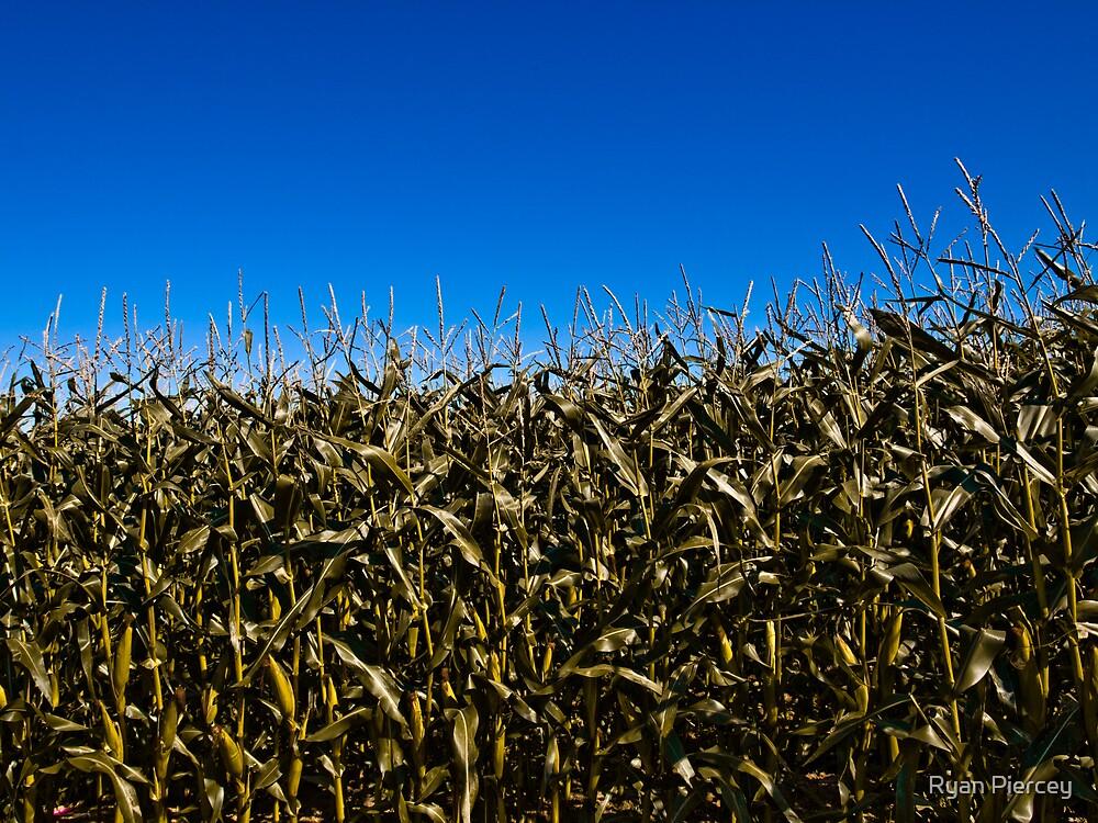 Field of Gold by Ryan Piercey