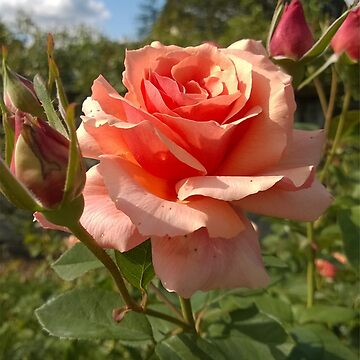 Apricot Double-Bloom Rose by doodlequeen27