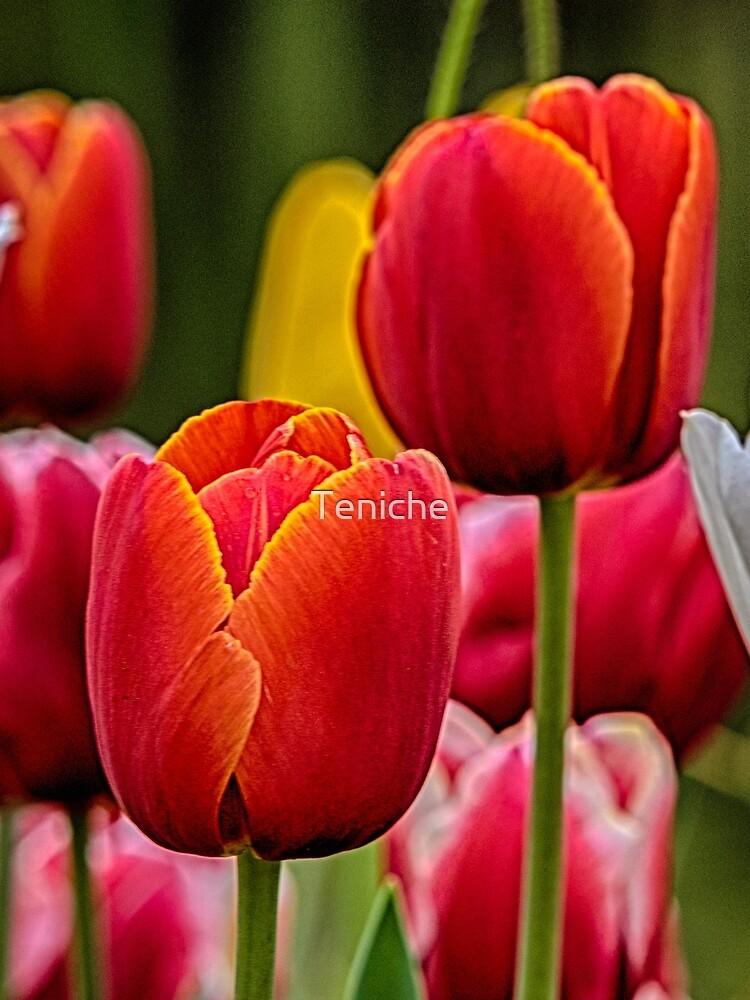 Tulips by Teniche