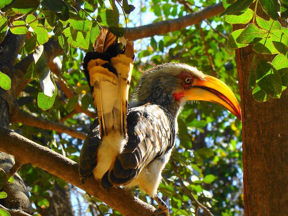 Southern Yellow-Billed Hornbill by Andrew Van Der Walt