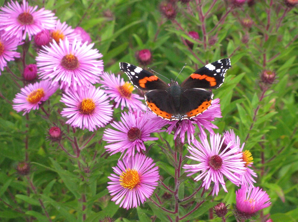 Red Admiral by Caroline Anderson