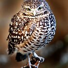 Burrowing Owl by damhotpepper