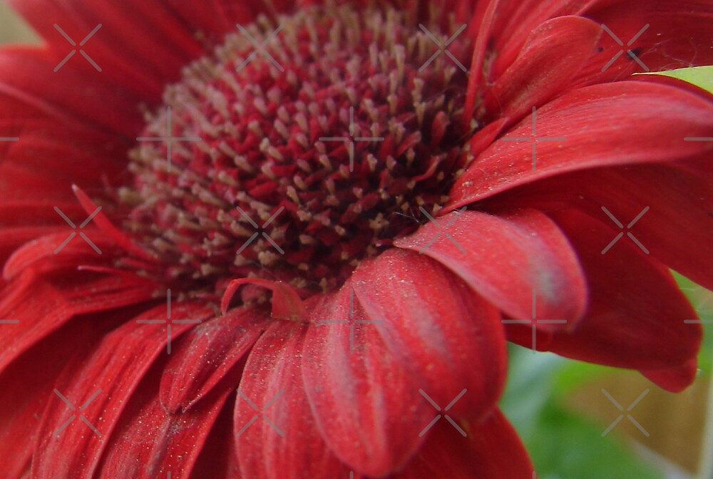 Sandy Red Daisy by Diane Petker