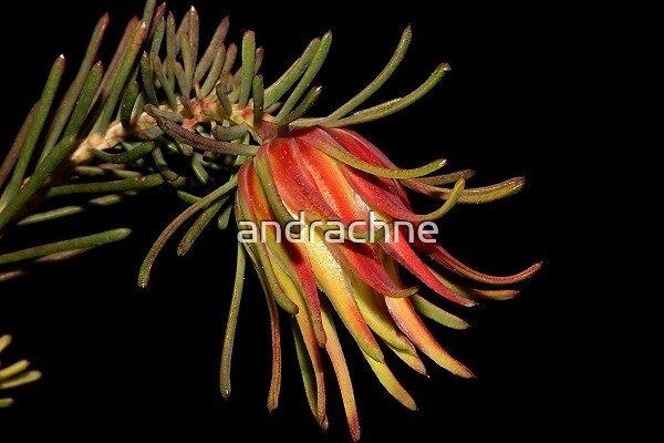 Darwinia masonii  by andrachne