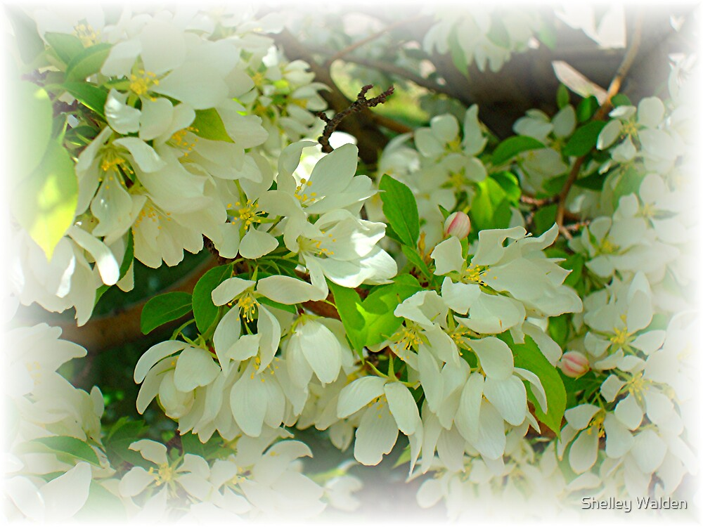 Spring Blooms by Shelley Walden