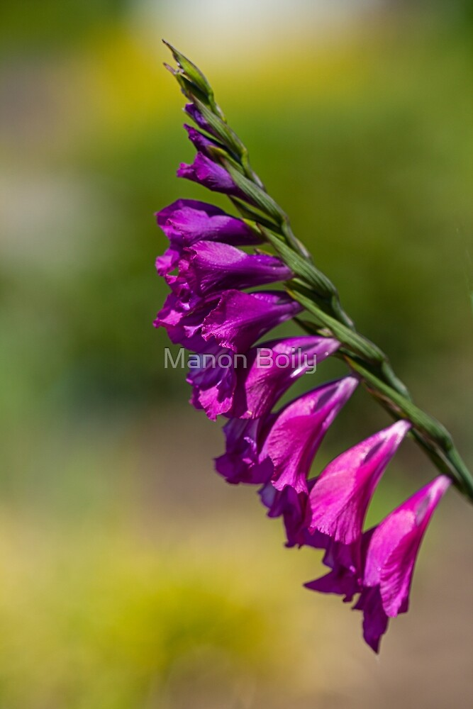 purple flower by Manon Boily