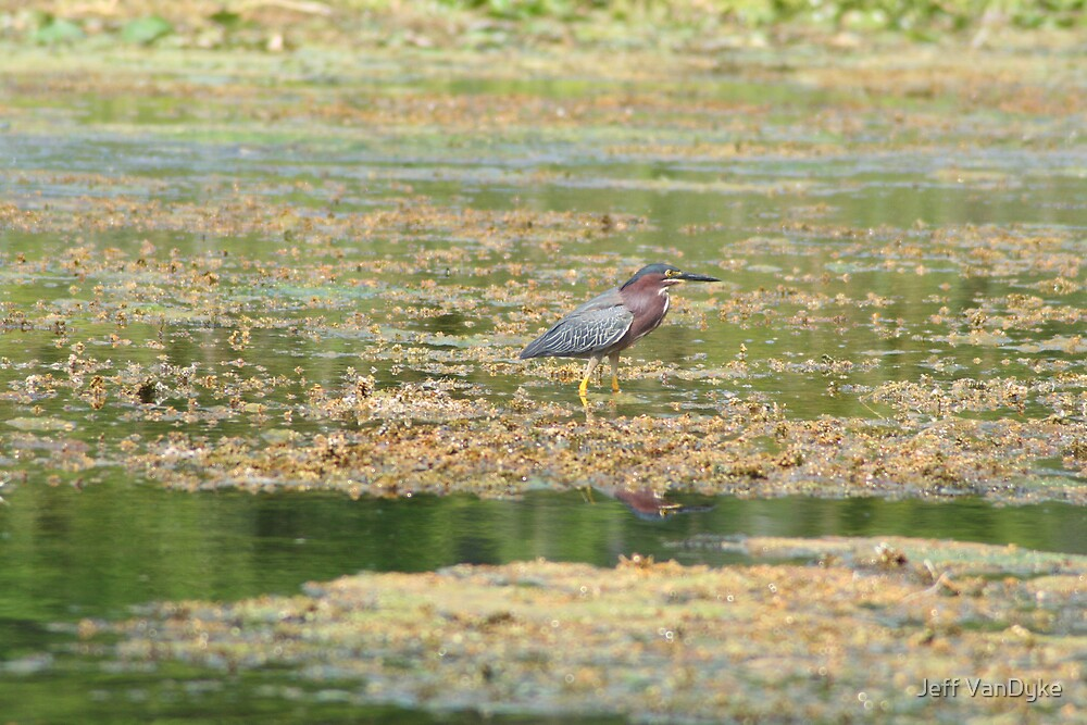 Green Heron by Jeff VanDyke