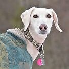 Saluki in the snow. by sandyprints