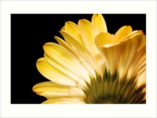 Daisy by ShutterbugCel