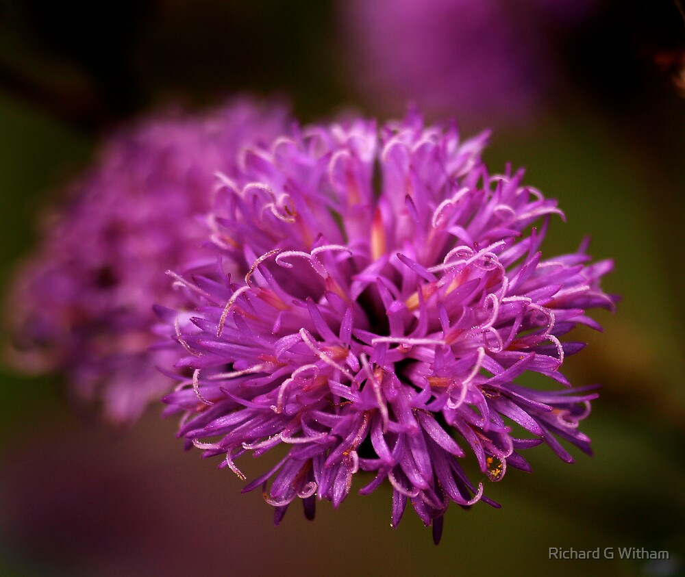 Ironweed Blossom by Richard G Witham