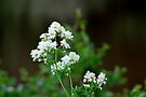 Tall Meadow Rue by Kathleen Daley