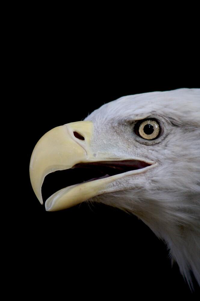 Bald Eagle by Chris van Raay