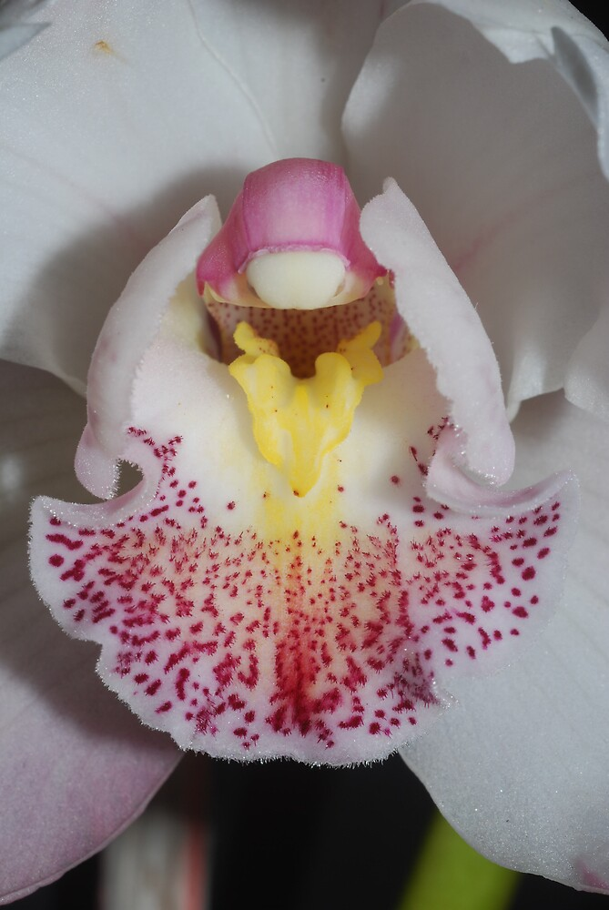 Orchid by fotografia