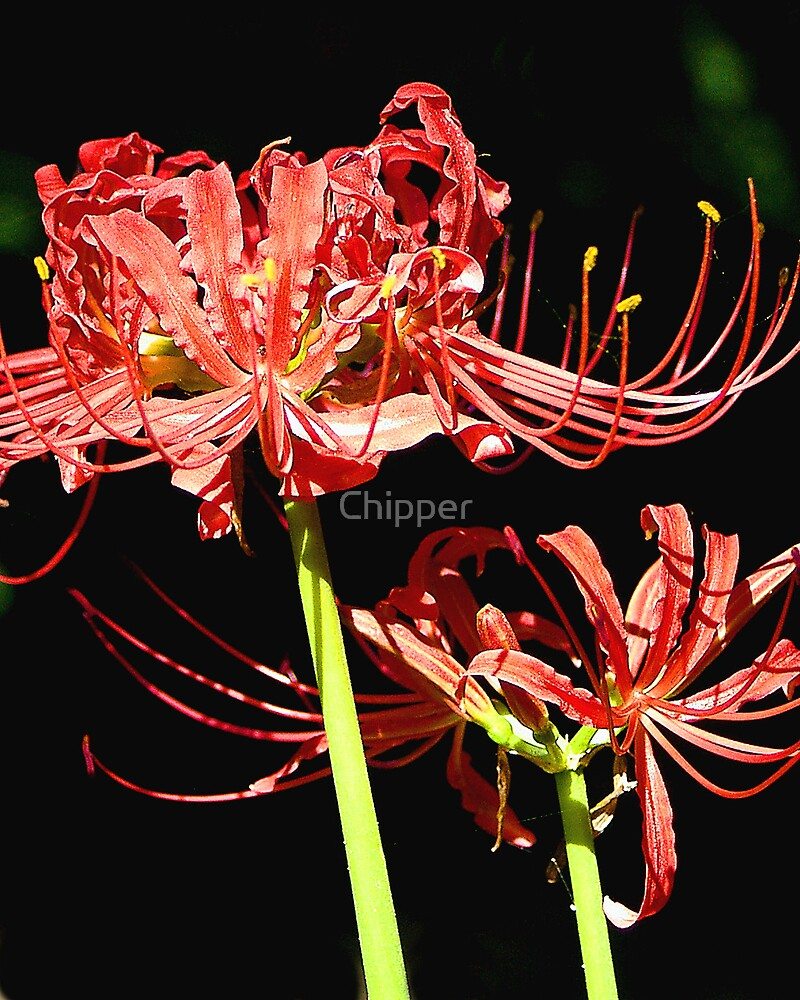 Spider Lily by Chipper