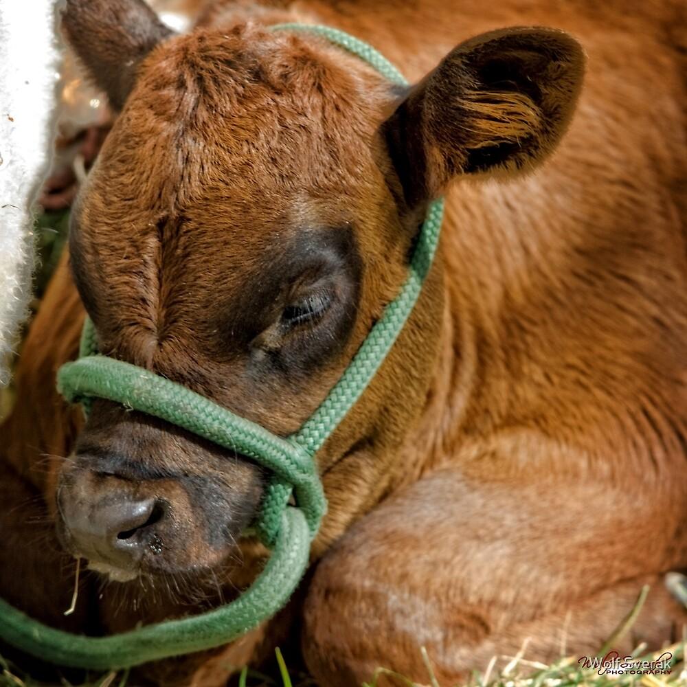 Baby Cow/Calf by Wolf Sverak