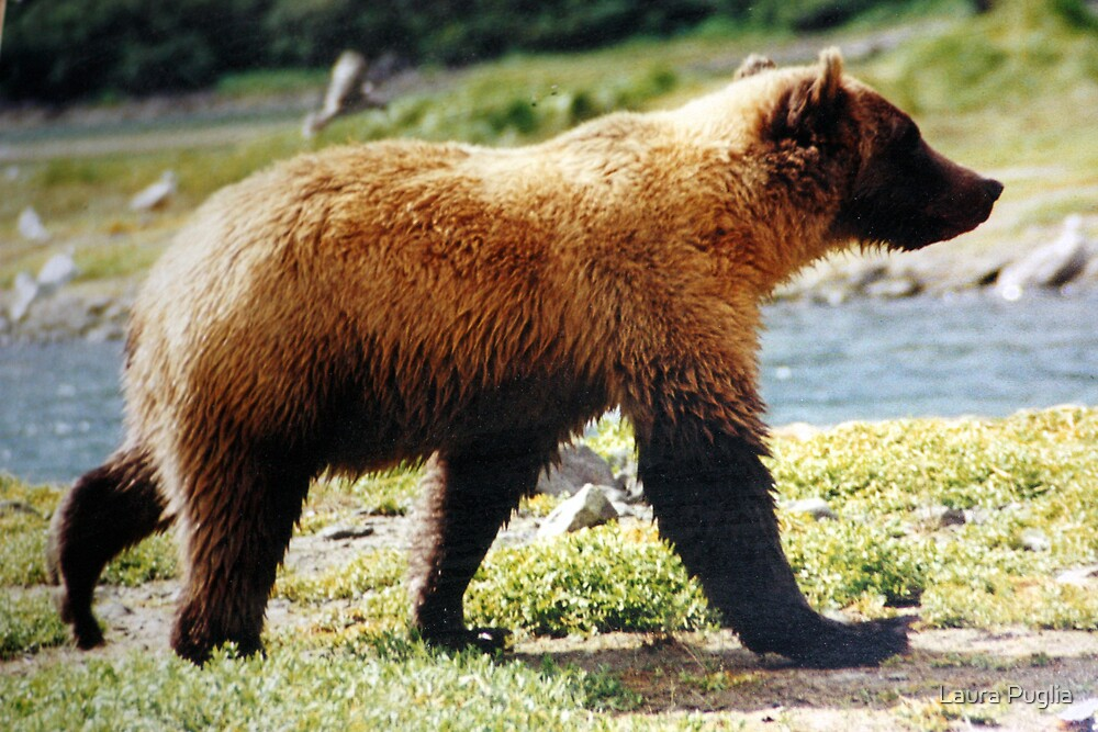 Grizzly Bear by Laura Puglia