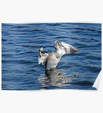Great Crested Grebe Shaking Poster