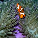 Clownfish at Pulau Misool by Reef Ecoimages