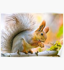 Red euroasian squirrel washes on the maple branch Poster