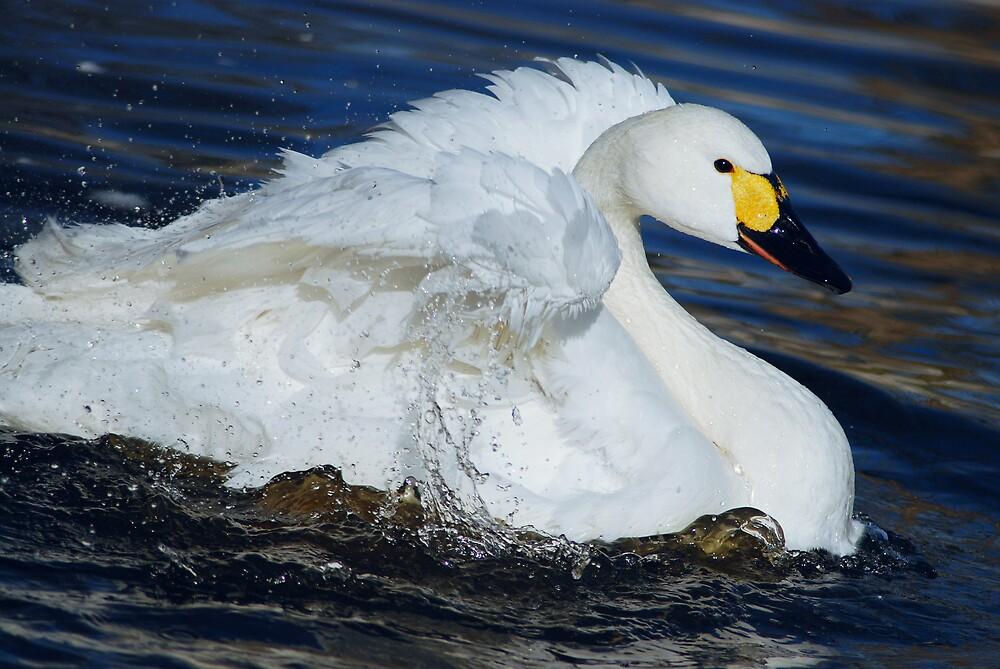 bewick's swan by mc27