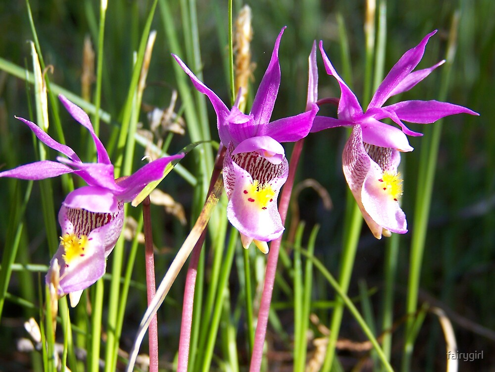 Laughing Orchids by fairygirl
