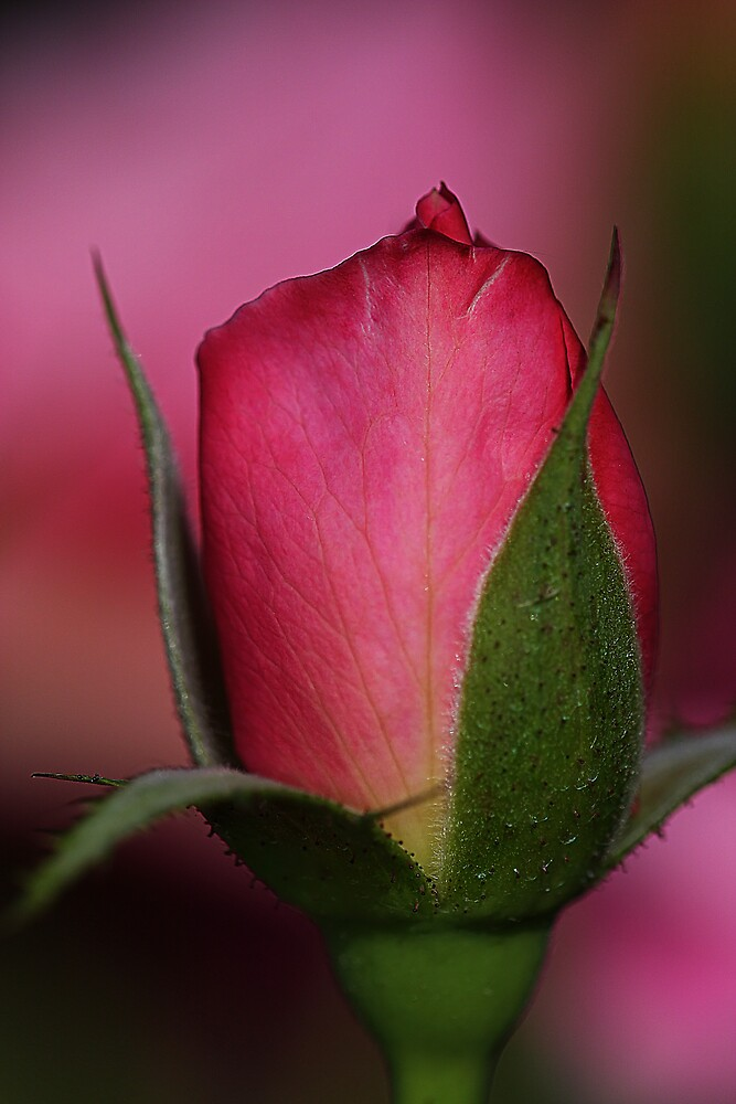 A Rose by Greg Carlill