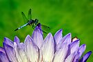 Dragonfly by cclaude