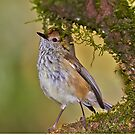 Brown Thornbill by Robert Elliott