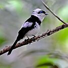 PIED MONARCH   -   Mareeba   -  Far North Queensland  Australia by Leslie-Ann