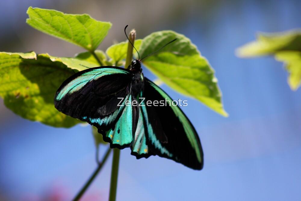 A beautiful Butterfly! by ZeeZeeshots