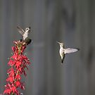 Ruby Throated Hummingbirds 2017-1 by Thomas Young