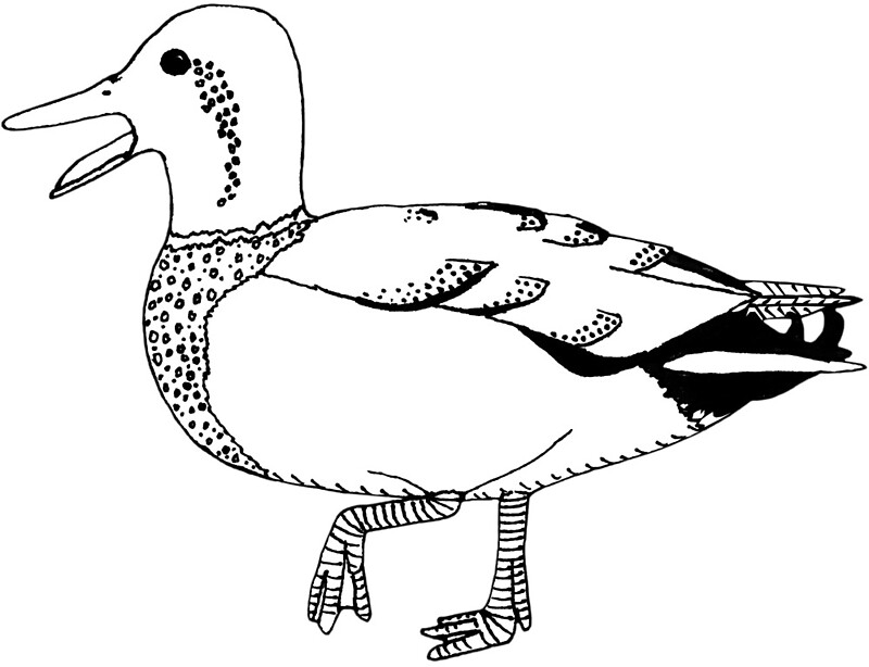 belonging duck and page Duck and goose are types of waterfowl that belong to the family anatidae there are 29 species of goose and around 90 species of duck that can be found all over the world ducks and geese inhabit areas near the lakes and ponds and oceanic islan.