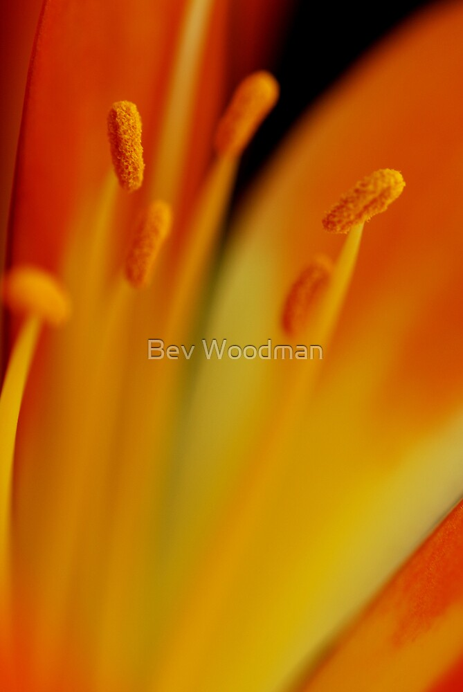 Clivia Beauty by Bev Woodman