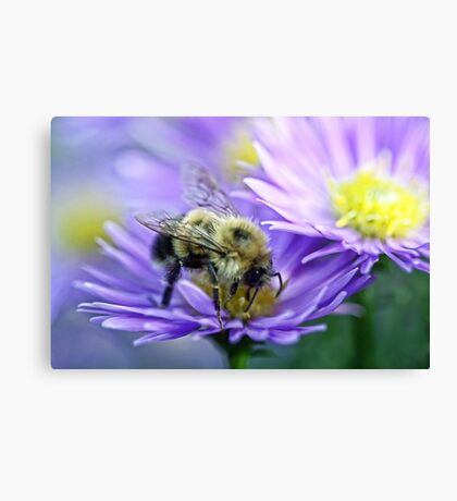 Bumble Bee - Fall Aster Canvas Print