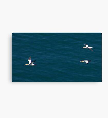Gannet #3 Canvas Print