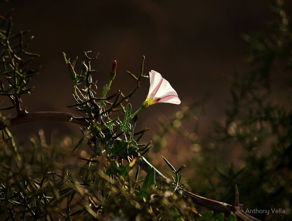 Solitaire by Anthony Vella