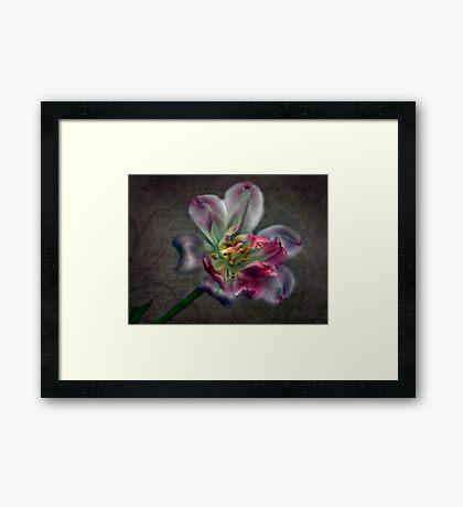 Tulipa laureola Framed Print