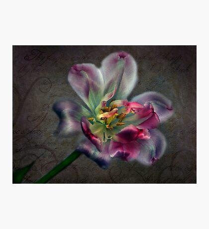 Tulipa laureola Photographic Print