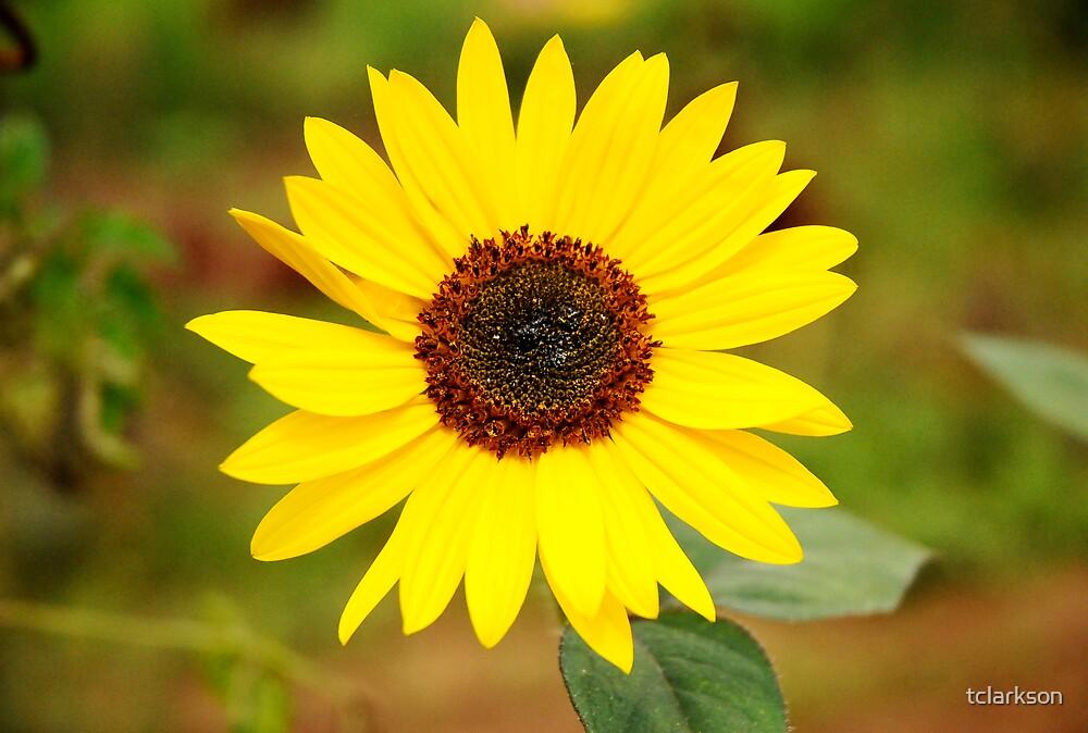 small sunflower by tclarkson