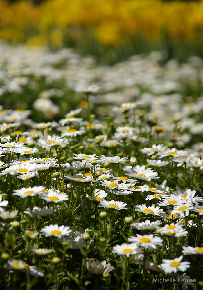 daisy delight by Michelle Larrea