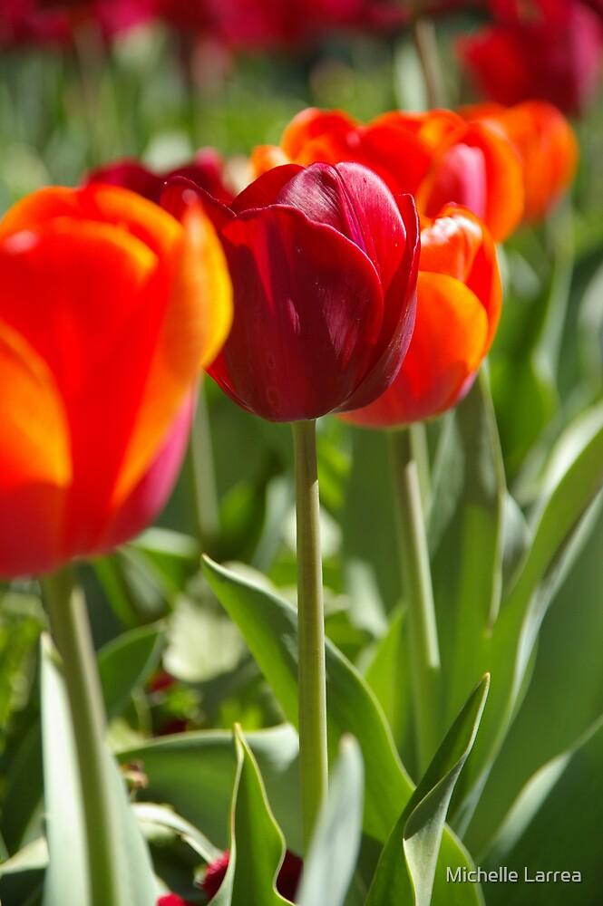 Tulips In A Row by Michelle Larrea