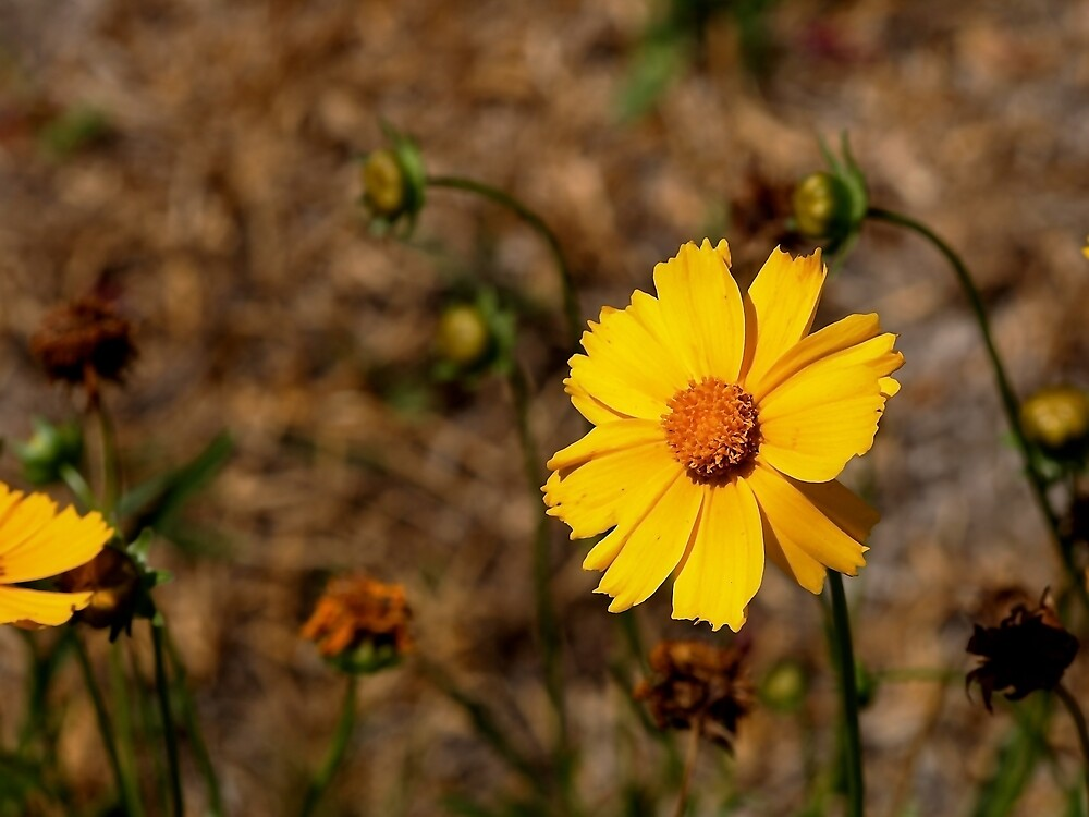 Small Sunflower in Southern California by Douglas E.  Welch