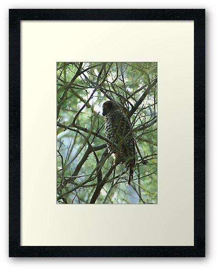 Powerful Owl Family 27 by Biggzie