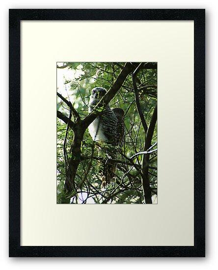 Powerful Owl Family 28 by Biggzie