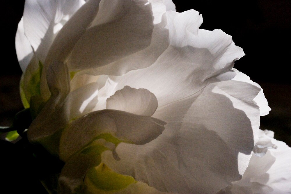 White Tree Peony by Dorothy DuMond Cohen