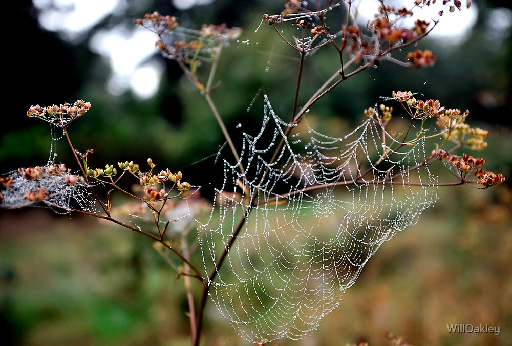 Web in the Forest by WillOakley