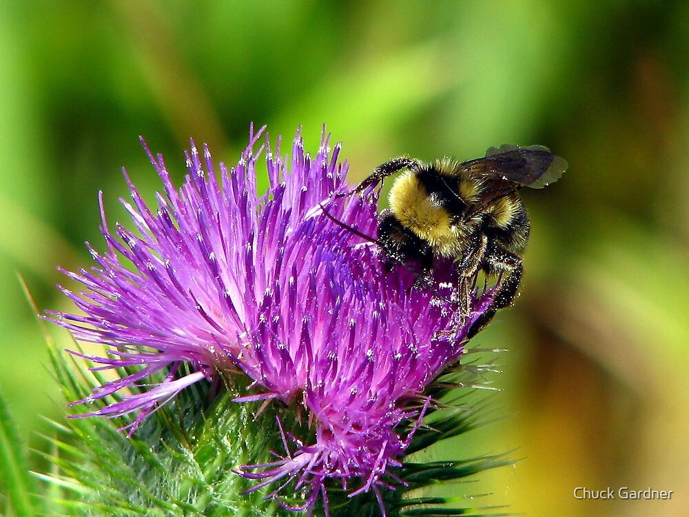 Milk Thistle Bumblebee  by Chuck Gardner