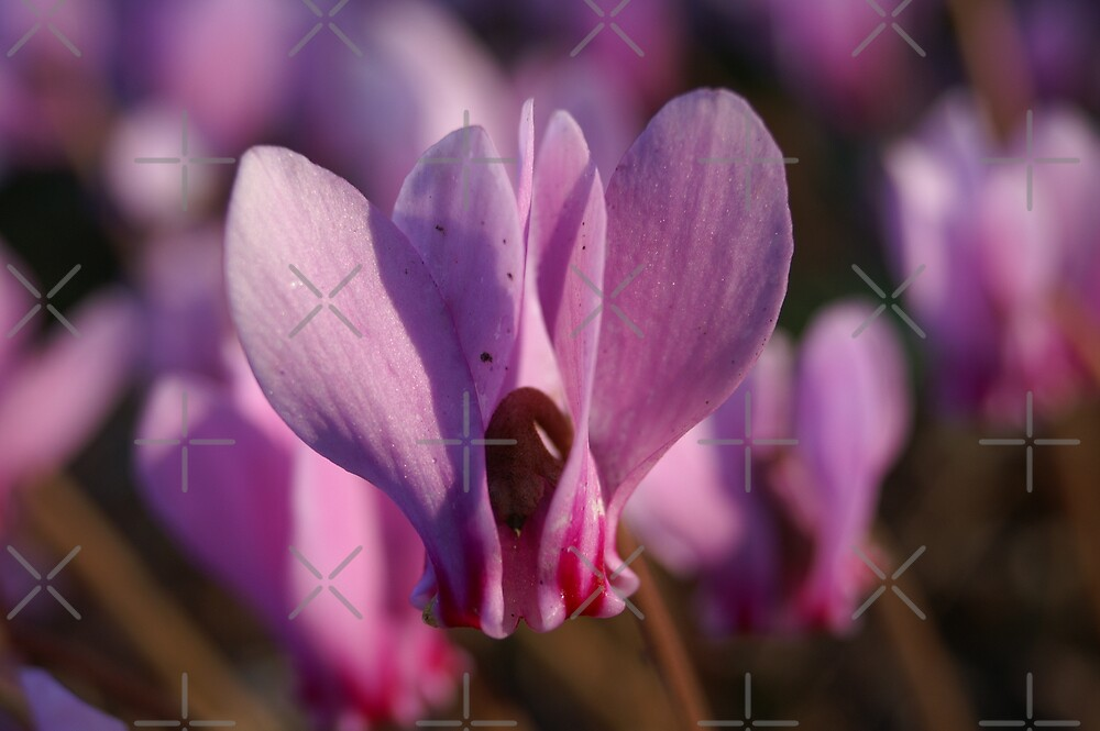 cyclamen by poupoune