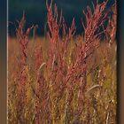 Prairie Red by Sheryl Gerhard