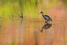 Glossy Ibis ~ Kimberley Colours #2  by Robert Elliott